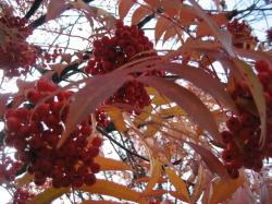 紅葉した葉と赤くなったナナカマドの実