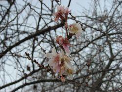 ショコラ 011桜