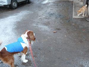 P1000549柴犬