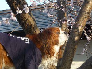 P1010285桜