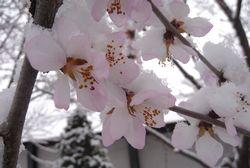 P1010340桜
