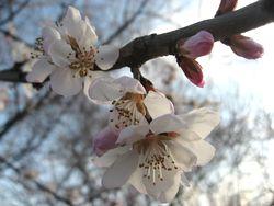 ショコラ 023桜