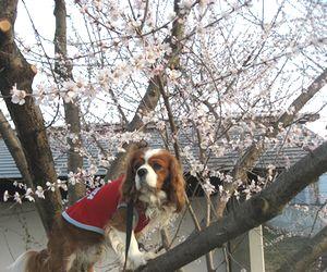 ショコラ 021桜2
