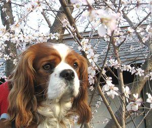 ショコラ 022桜4