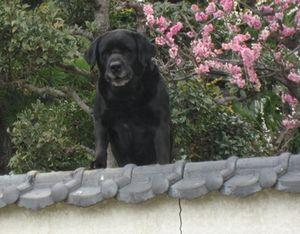 ショコラ 007黒犬