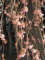ショコラ 012しだれ桜1