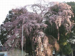 ショコラ 020しだれ桜
