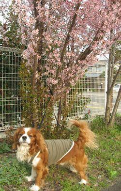 ショコラ 012桜