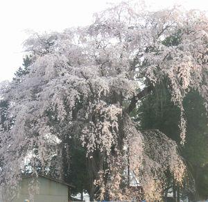 ショコラ 012しだれ桜