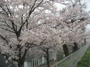 ショコラ 028城山桜1
