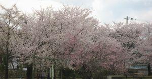 ショコラ 038公園桜