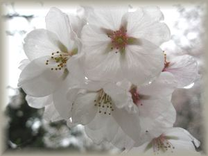 ショコラ 009桜