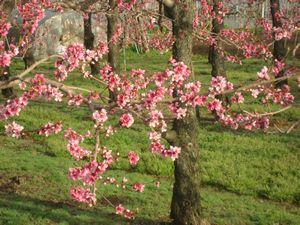 ショコラ 014桃の木