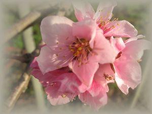 ショコラ 015桃の花