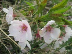ショコラ 007桜