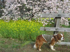 ショコラ 017八重桜