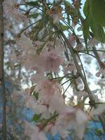 ショコラ 013平成しだれ桜