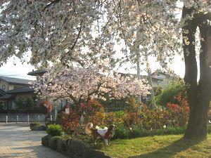 ショコラ 019公園桜