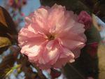 ショコラ 004桜カンザン