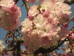 ショコラ 005桜ヒグラシ