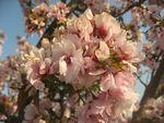 ショコラ 008桜タカサゴ