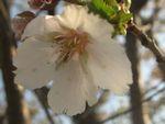 ショコラ 013桜ウスズミ