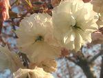 ショコラ 011桜フゲンゾウ