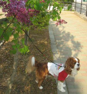 ショコラ 016紫花