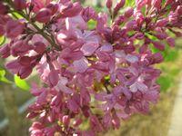 ショコラ 017紫花