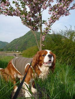 P1000147八重桜カンザン