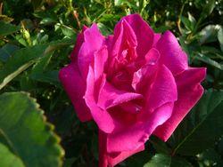 P1000314ピンク薔薇
