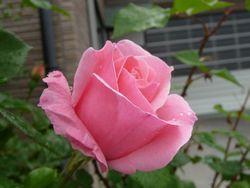 P1000401薔薇