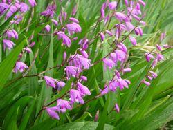 P1000395紫蘭