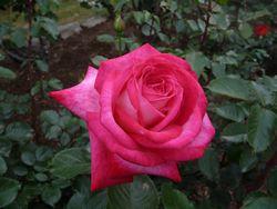 P1000488薔薇