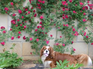 P1000628壁つるバラ