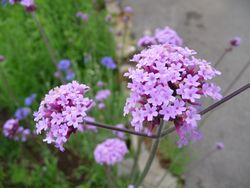 P1000669紫花