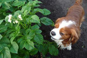 P1000693野菜の花