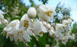 P1000723白い花