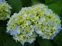 P1000907紫陽花