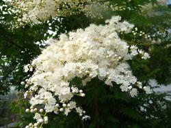 P1000967白花