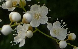 P1000967白花2
