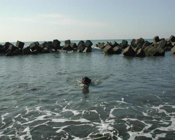 柳島の海でおよぐクロ