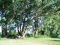 120px-CPonte_Eucalyptus.jpg