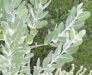 180px-Eucalyptus_tetragona_-_glaucous_leaves_close.jpg
