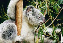 220px-Koala-ag1.jpg