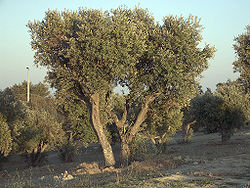 250px-Olea_europaea_subsp_europaeaOliveTree.jpg