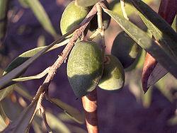 250px-Olive-tree-fruit-august-0.jpg