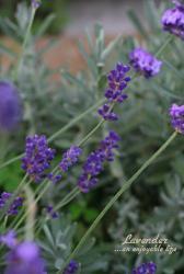 lavender01.jpg