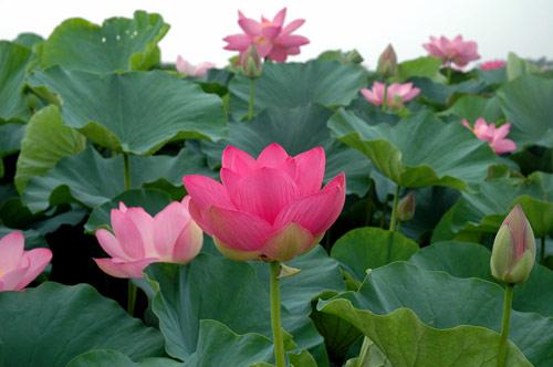 lotus09