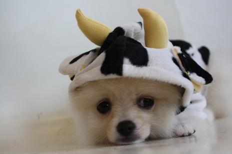 牛さんきなこたん